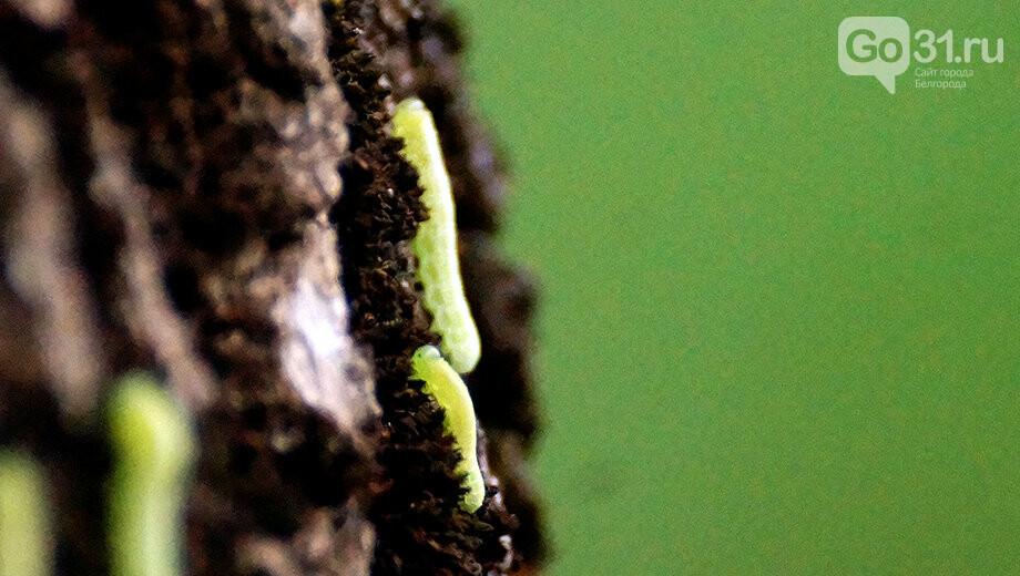 Кто спросил у ясеня? В белгородском парке расплодились говорящие гусеницы, фото-1, Фото: Сергей Егоров