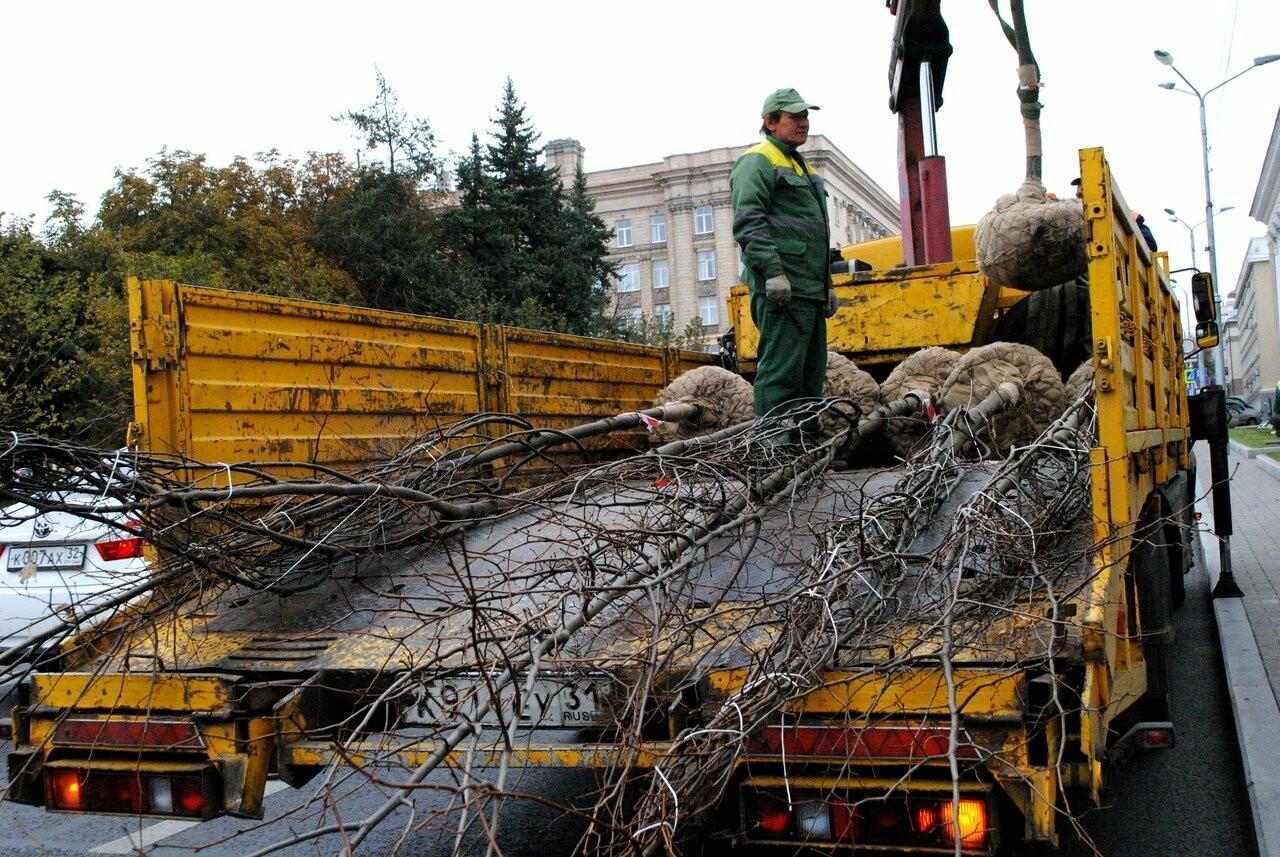 В Белгороде на Попова высаживают новые липы, фото-3