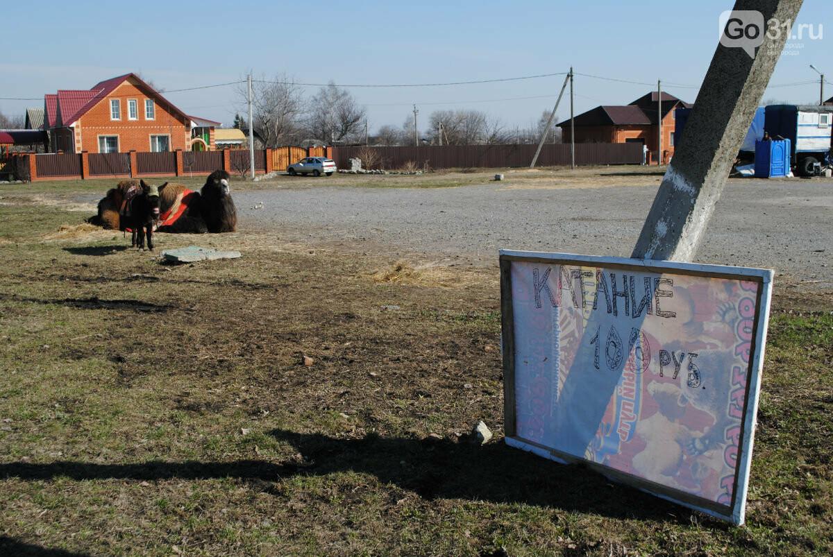 Цирк уехал, животные остались. Полтора месяца верблюд Чирчик и ослица Мила живут на самоизоляции в Прохоровке, фото-1