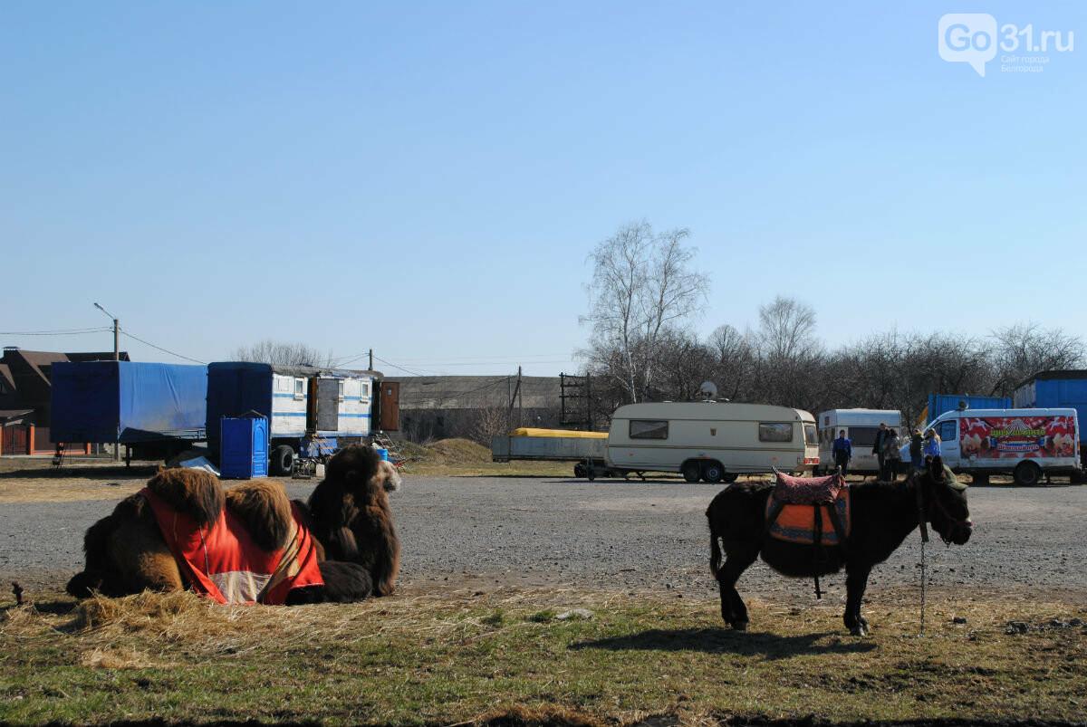 Цирк уехал, животные остались. Полтора месяца верблюд Чирчик и ослица Мила живут на самоизоляции в Прохоровке, фото-2
