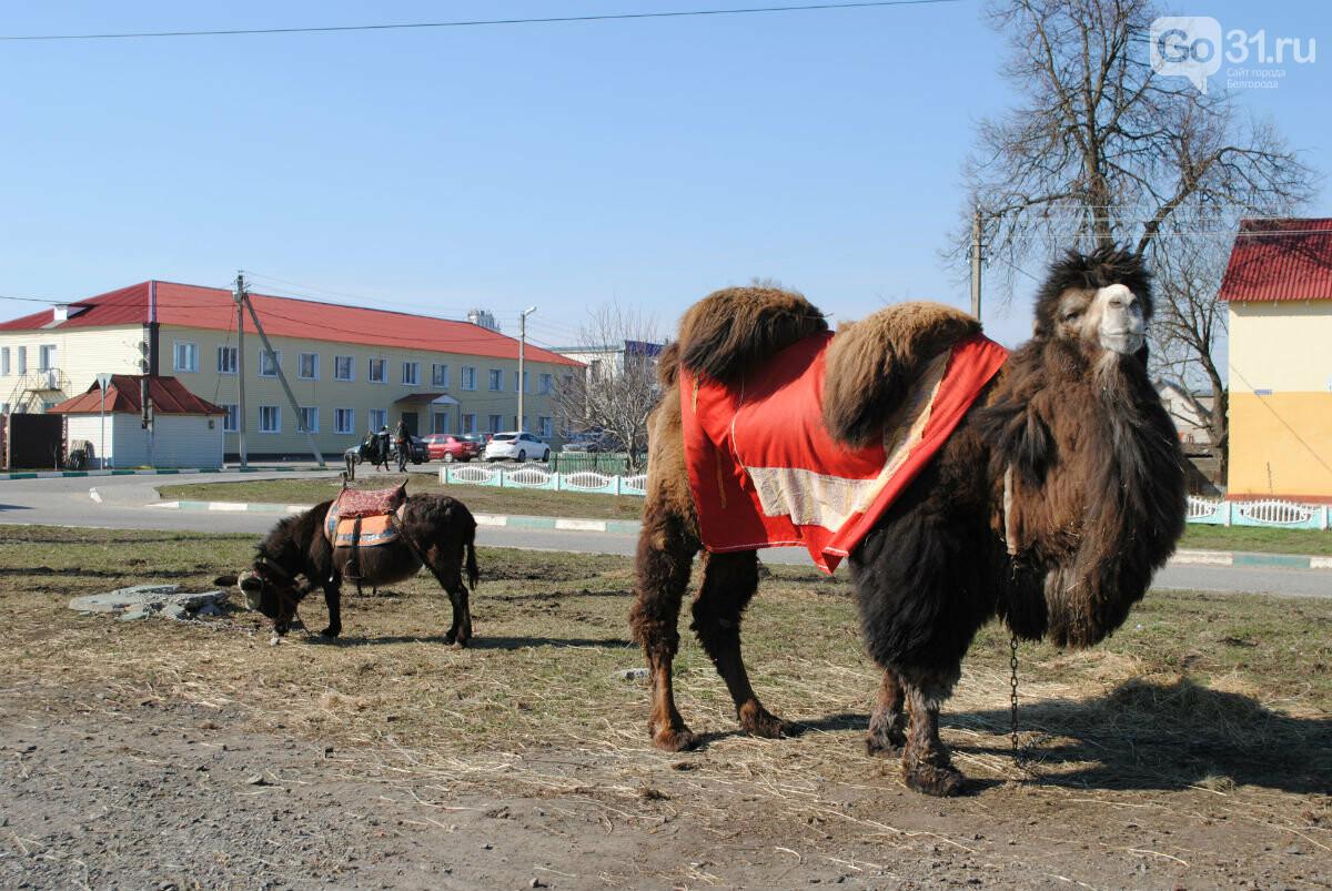 Цирк уехал, животные остались. Полтора месяца верблюд Чирчик и ослица Мила живут на самоизоляции в Прохоровке, фото-4