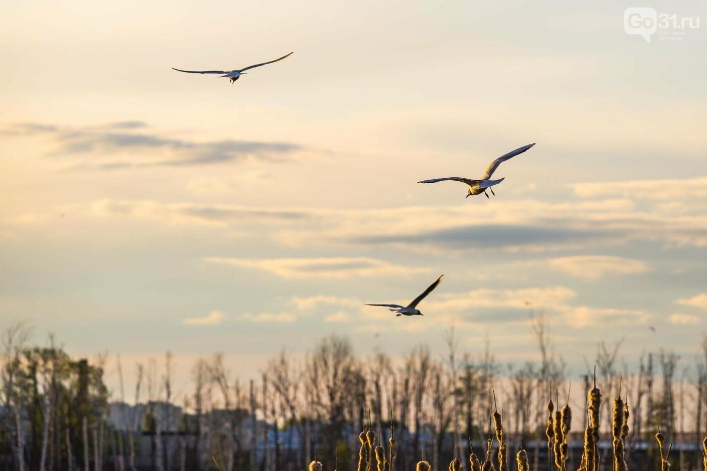 Пролетая над озером. В Белгороде чайки выбрали удобное место обитания, фото-4, Фото: Антон Вергун