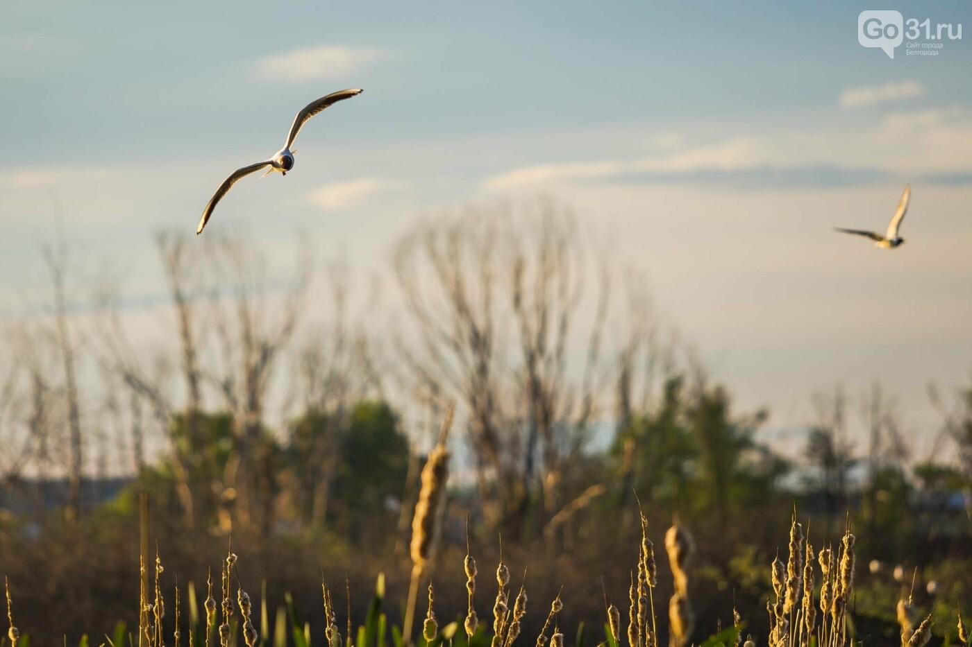 Пролетая над озером. В Белгороде чайки выбрали удобное место обитания, фото-7, Фото: Антон Вергун