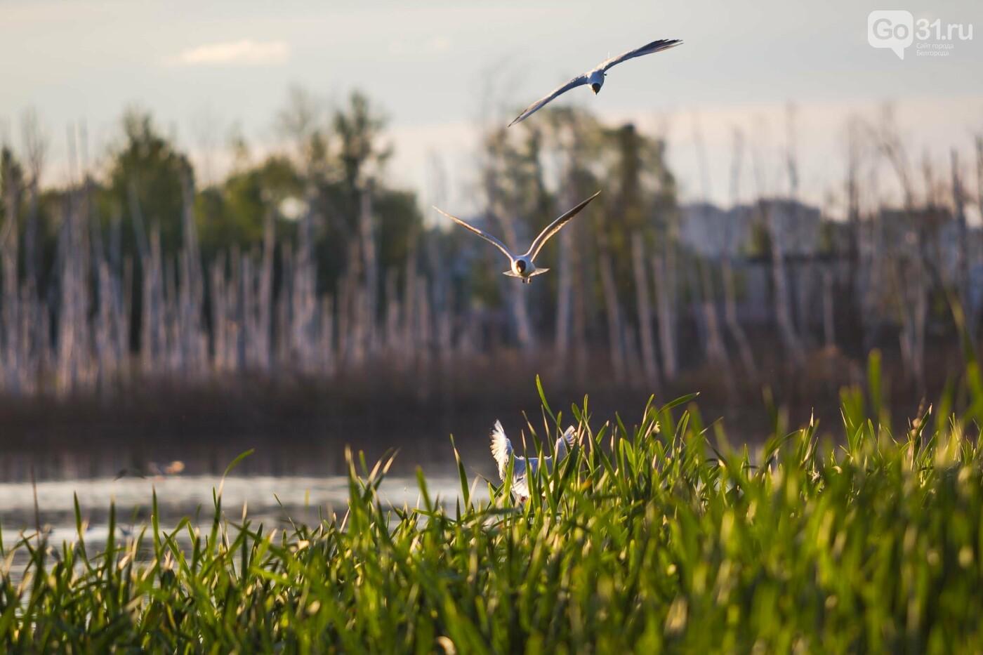 Пролетая над озером. В Белгороде чайки выбрали удобное место обитания, фото-8, Фото: Антон Вергун