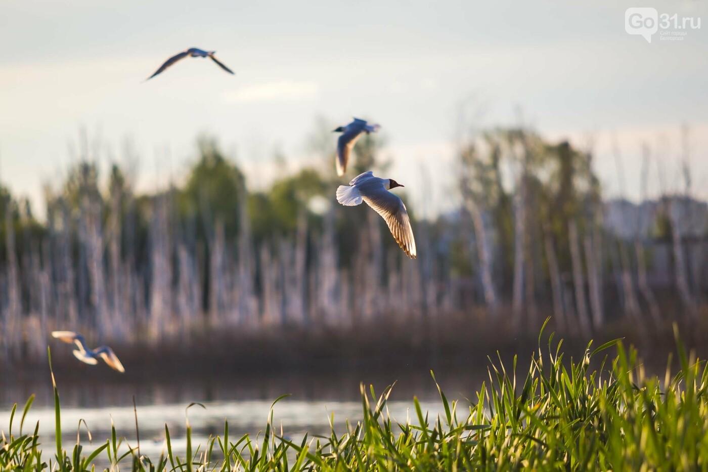 Пролетая над озером. В Белгороде чайки выбрали удобное место обитания, фото-9, Фото: Антон Вергун