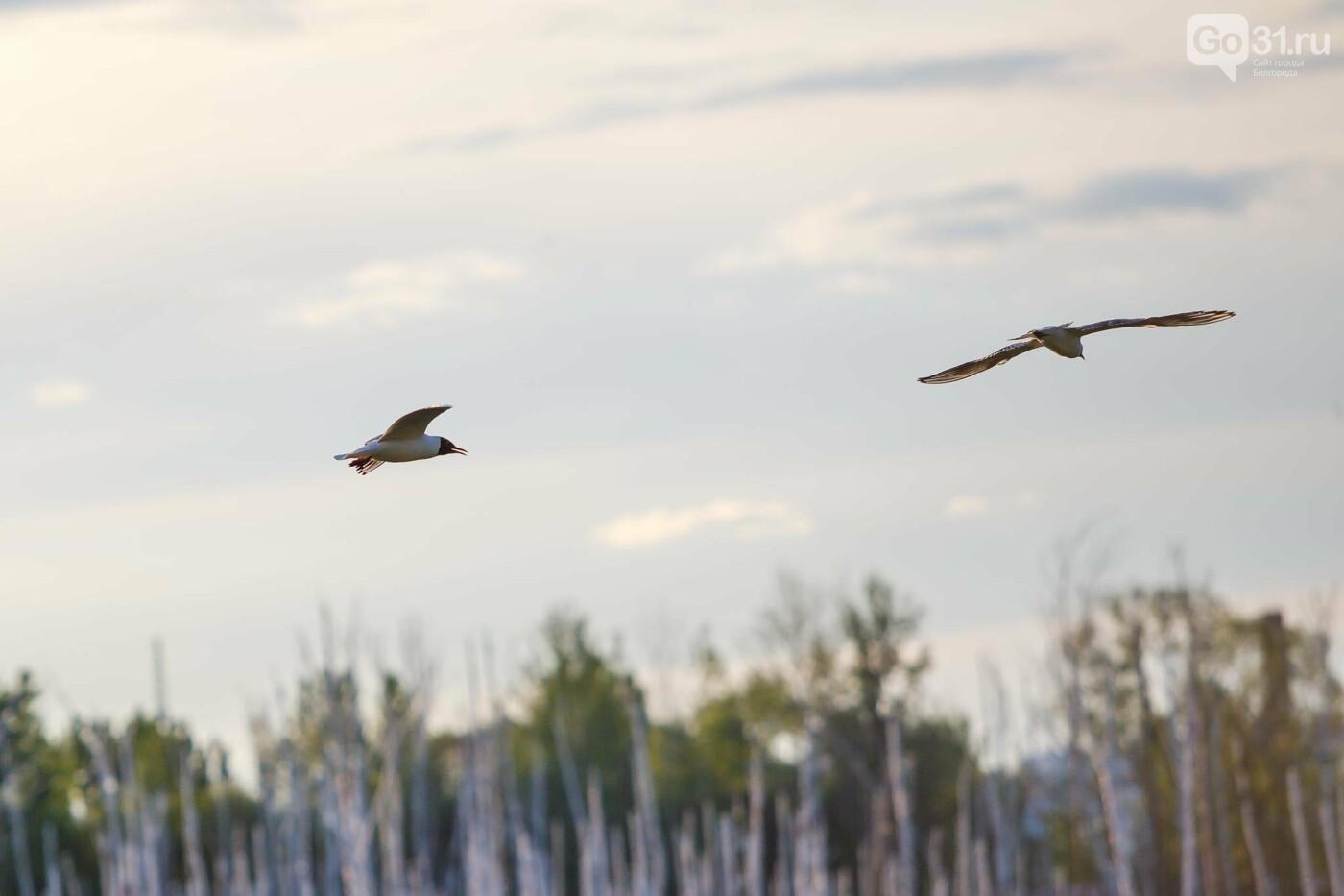 Пролетая над озером. В Белгороде чайки выбрали удобное место обитания, фото-11, Фото: Антон Вергун