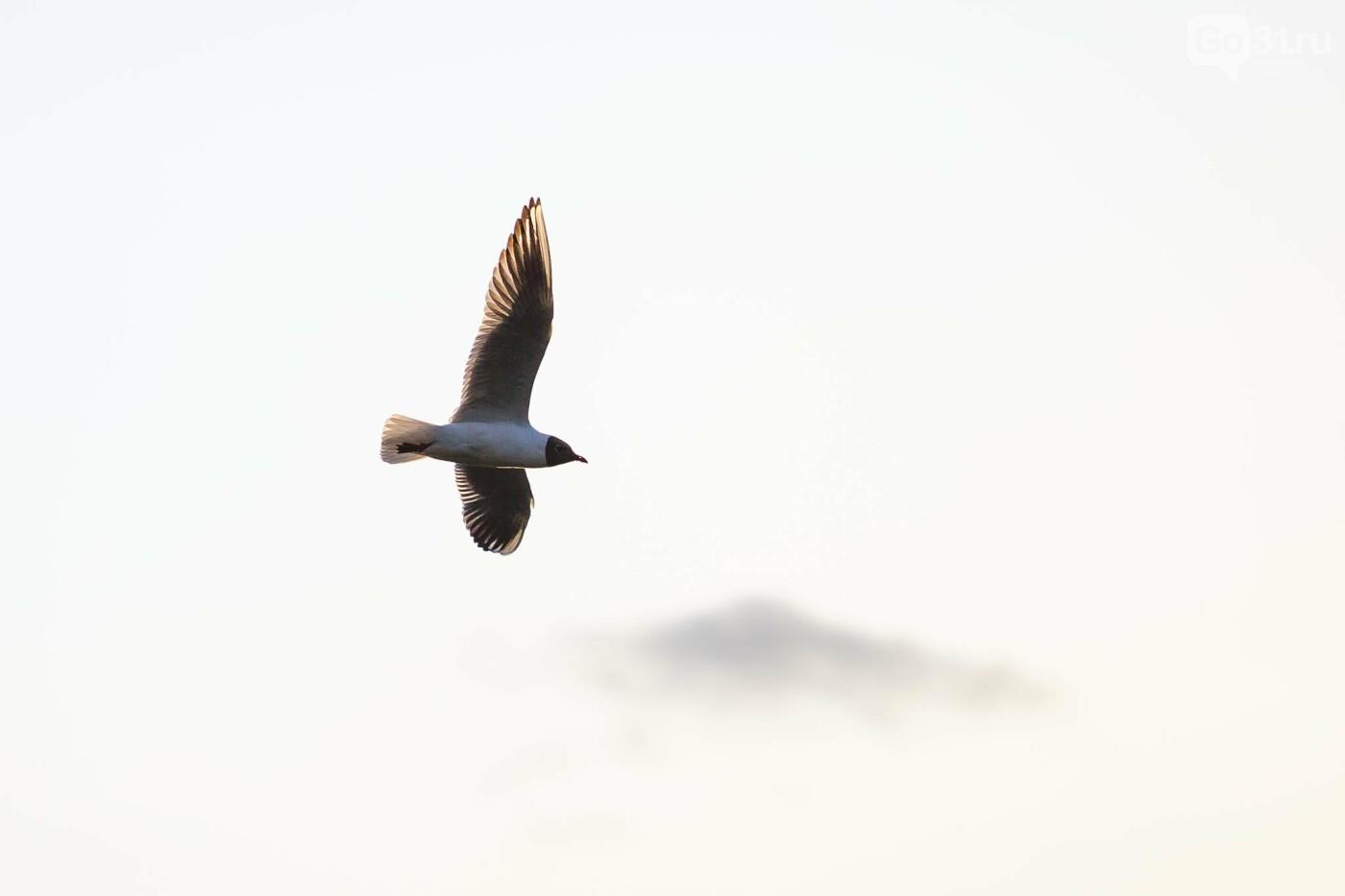 Пролетая над озером. В Белгороде чайки выбрали удобное место обитания, фото-22, Фото: Антон Вергун