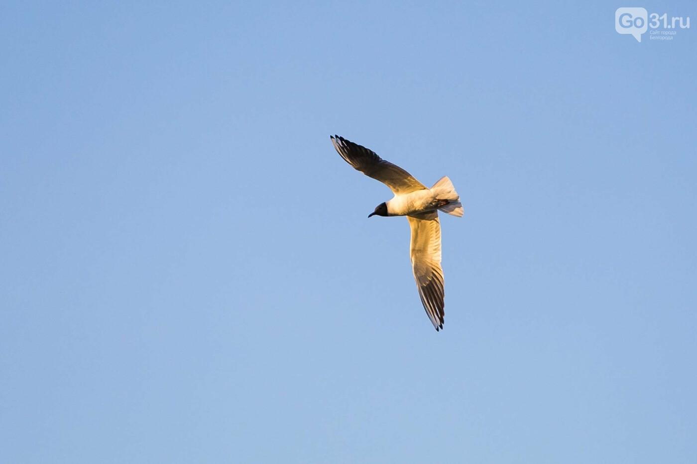 Пролетая над озером. В Белгороде чайки выбрали удобное место обитания, фото-31, Фото: Антон Вергун