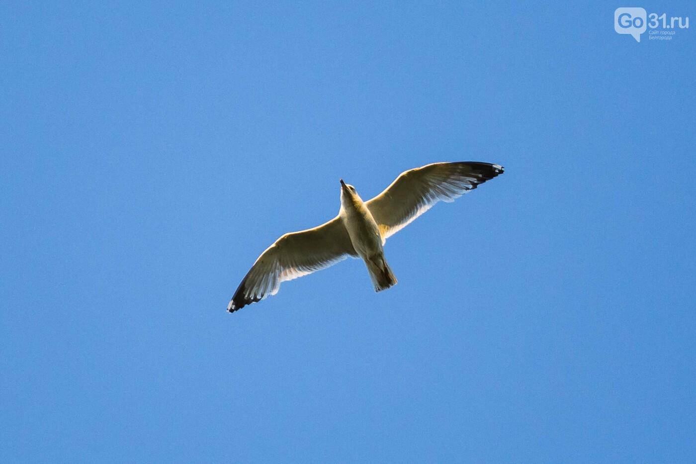 Пролетая над озером. В Белгороде чайки выбрали удобное место обитания, фото-32, Фото: Антон Вергун