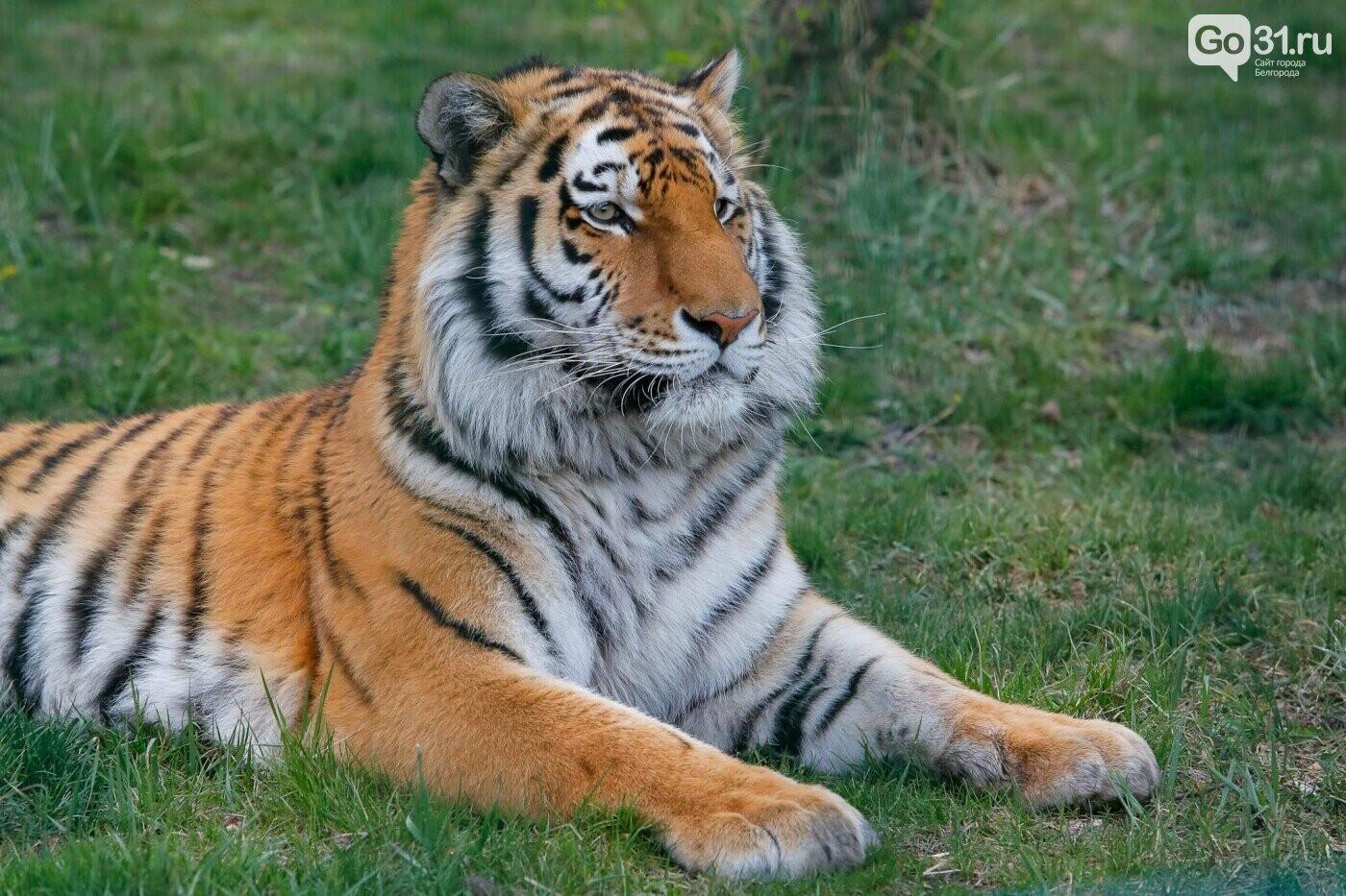 Тигр в Белгородском зоопарке, Фото: Антон Вергун