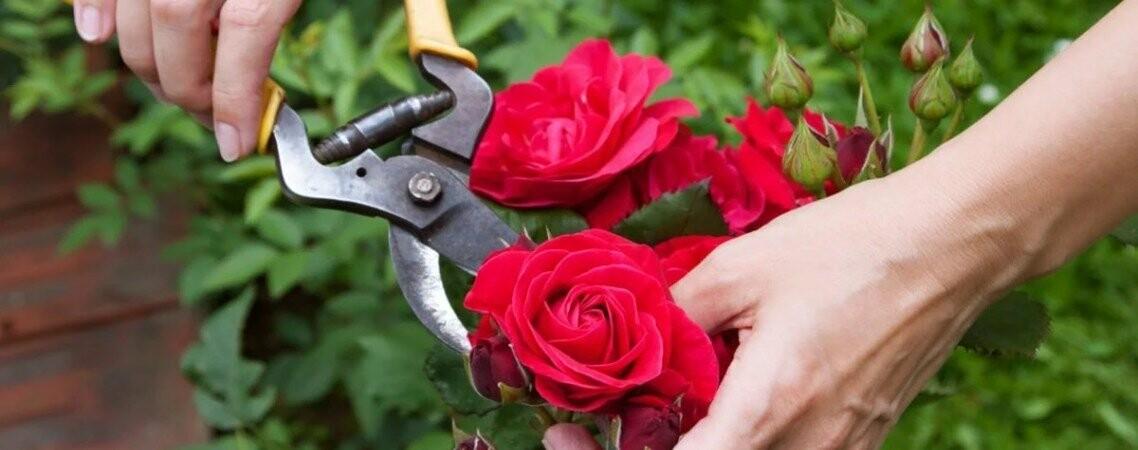 Как правильно посадить и вырастить розы, фото-2