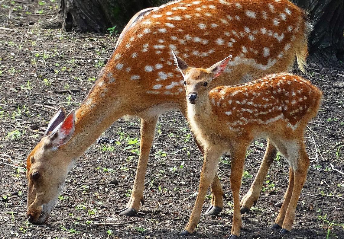 В Старооскольском зоопарке родились оленята, фото-1