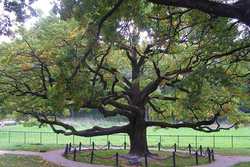 Белгородский дуб стал «Российским деревом года», фото-1