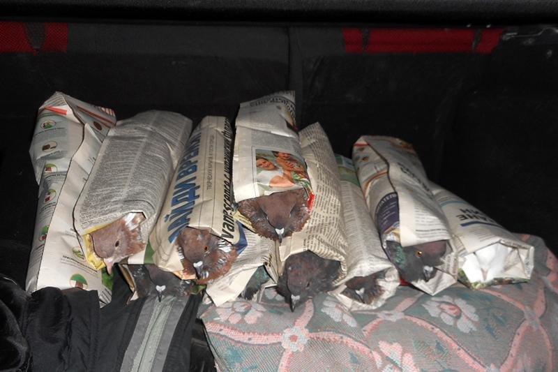 Голубей в газетных рулонах нашли на границе под Белгородом, фото-2