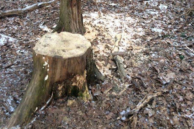 Жители Белгорода обеспокоены вырубкой деревьев в Архиерейской роще , фото-3