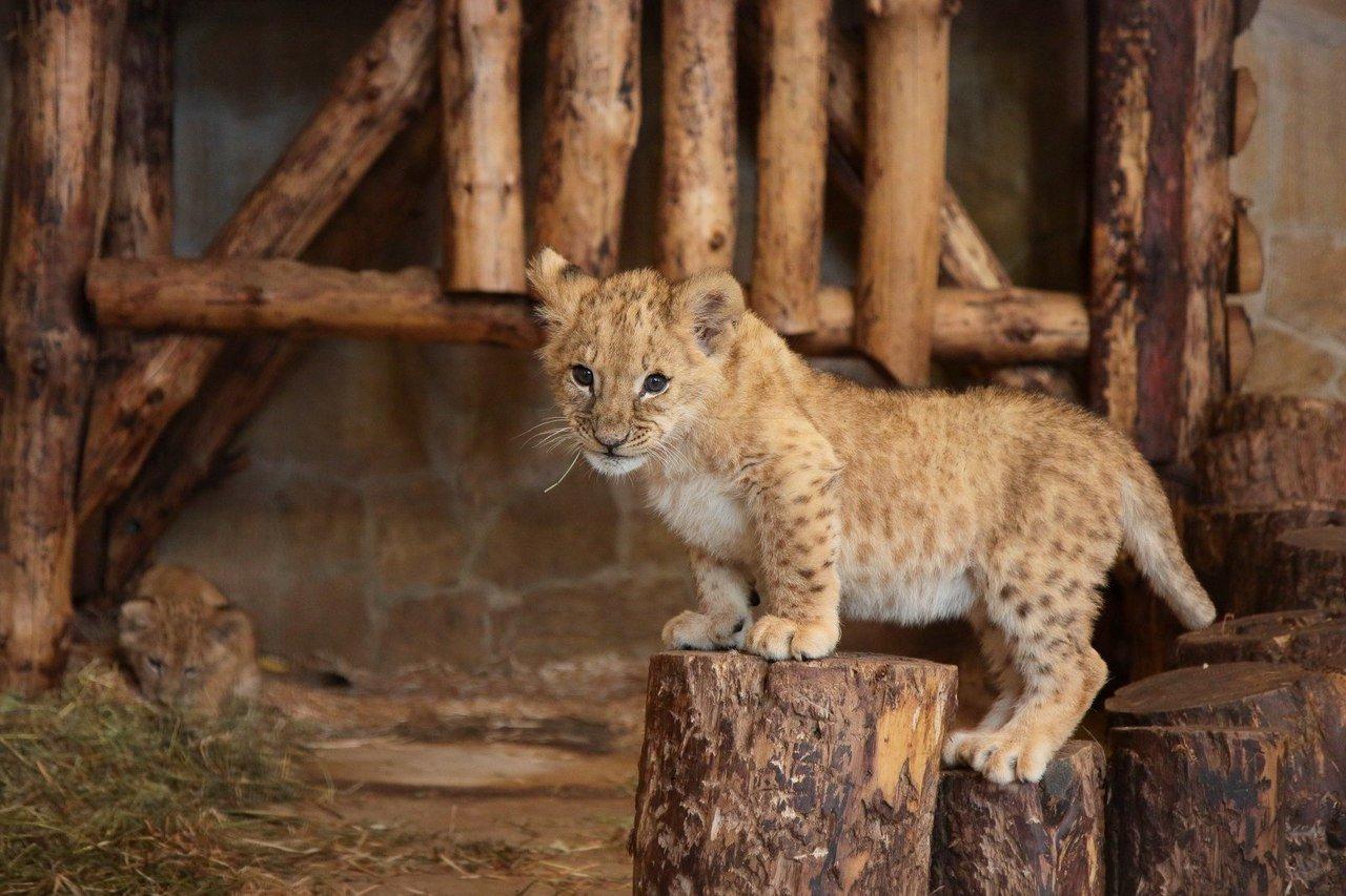 В Белгородском зоопарке поселилась львица Лулу, фото-1