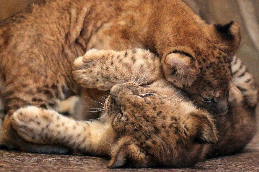 Львиное сердце. Go31 о характерах символов Белгорода из зоопарка , фото-15