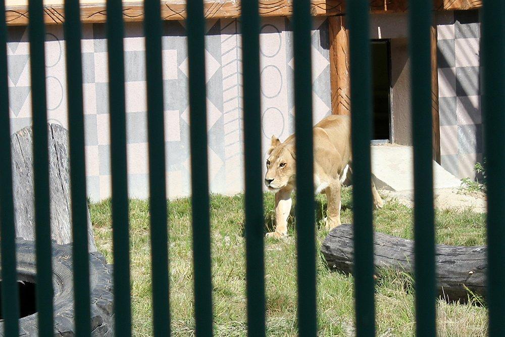 Львиное сердце. Go31 о характерах символов Белгорода из зоопарка , фото-1