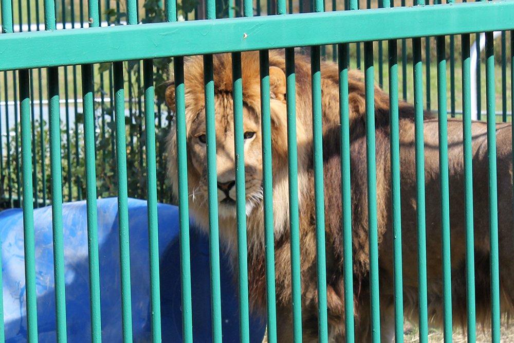 Львиное сердце. Go31 о характерах символов Белгорода из зоопарка , фото-2