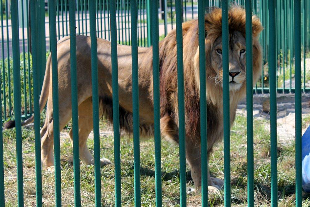 Львиное сердце. Go31 о характерах символов Белгорода из зоопарка , фото-3