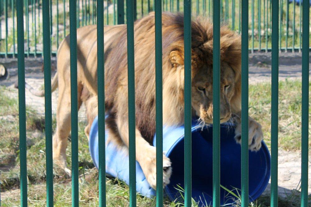 Львиное сердце. Go31 о характерах символов Белгорода из зоопарка , фото-4