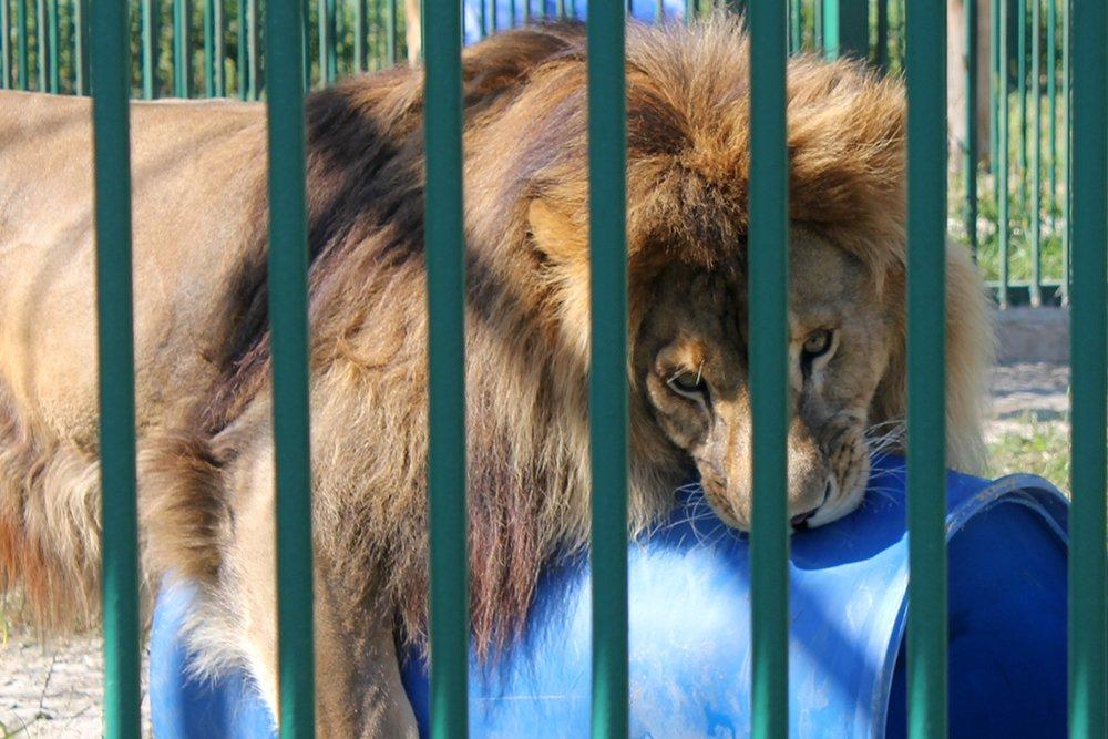 Львиное сердце. Go31 о характерах символов Белгорода из зоопарка , фото-5
