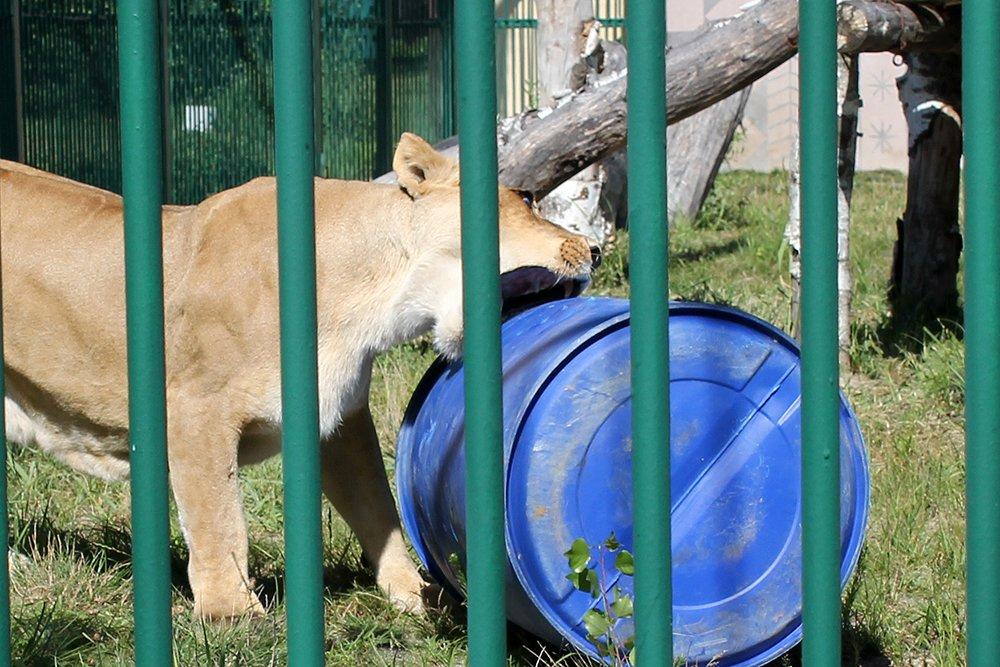 Львиное сердце. Go31 о характерах символов Белгорода из зоопарка , фото-6