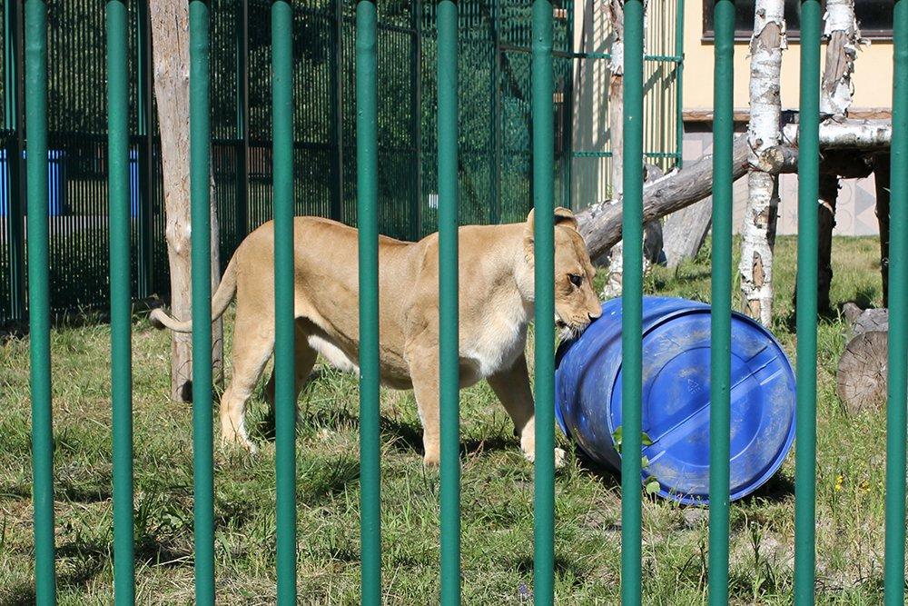 Львиное сердце. Go31 о характерах символов Белгорода из зоопарка , фото-7