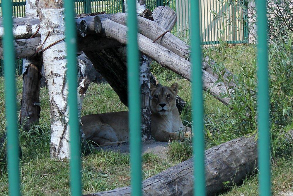 Львиное сердце. Go31 о характерах символов Белгорода из зоопарка , фото-8