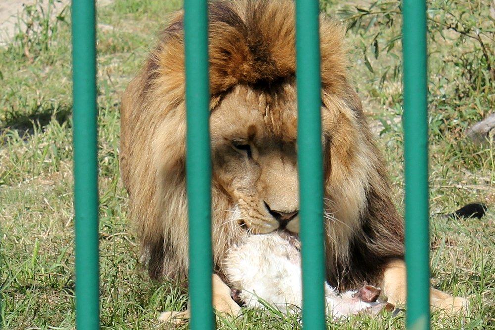 Львиное сердце. Go31 о характерах символов Белгорода из зоопарка , фото-20