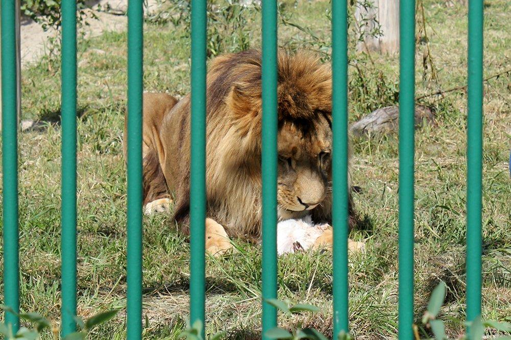 Львиное сердце. Go31 о характерах символов Белгорода из зоопарка , фото-18