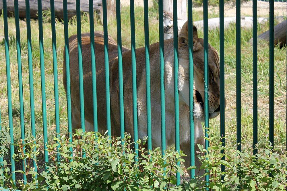 Львиное сердце. Go31 о характерах символов Белгорода из зоопарка , фото-10