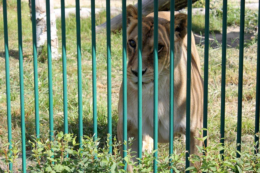 Львиное сердце. Go31 о характерах символов Белгорода из зоопарка , фото-11