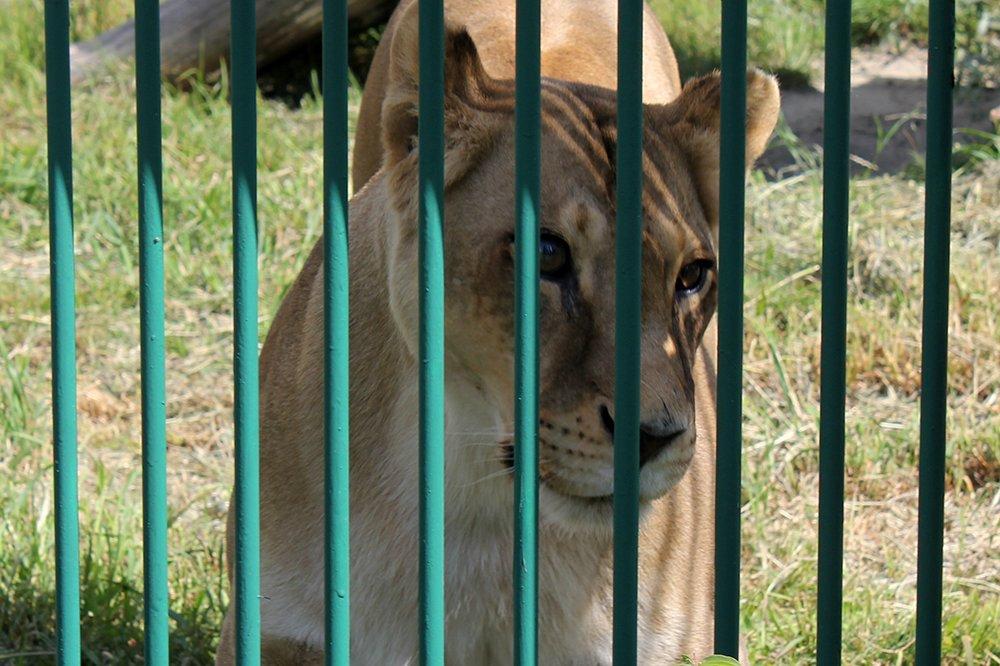 Львиное сердце. Go31 о характерах символов Белгорода из зоопарка , фото-12
