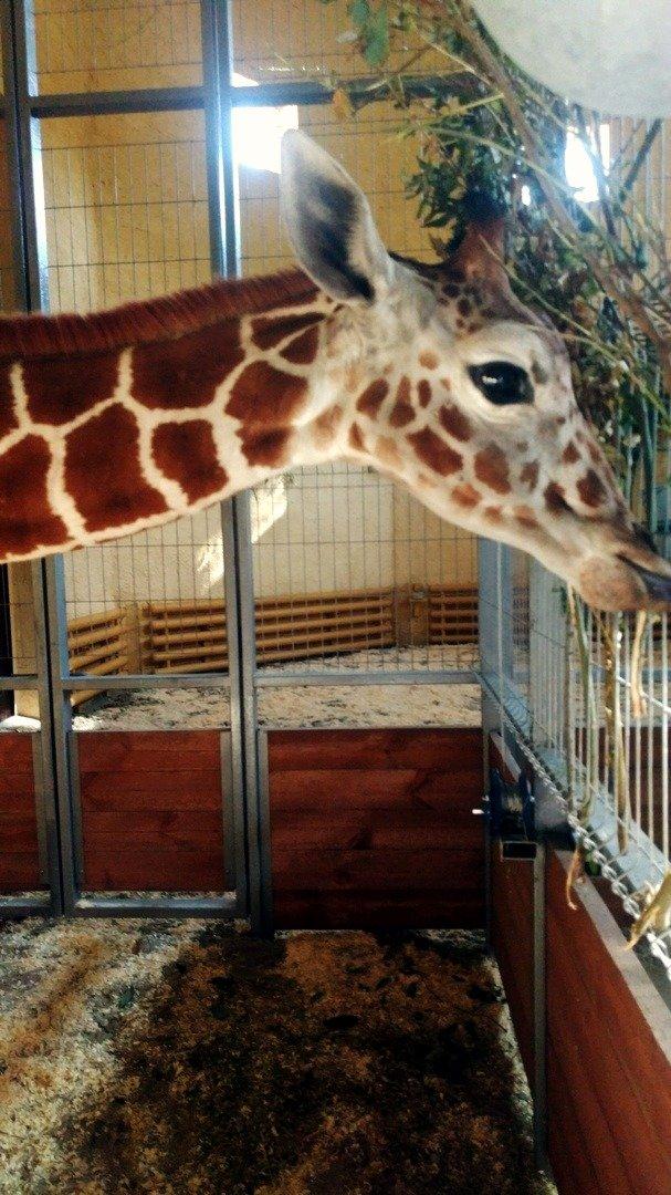 Жирафёнок Сафари уже поселился в белгородском зоопарке, фото-3