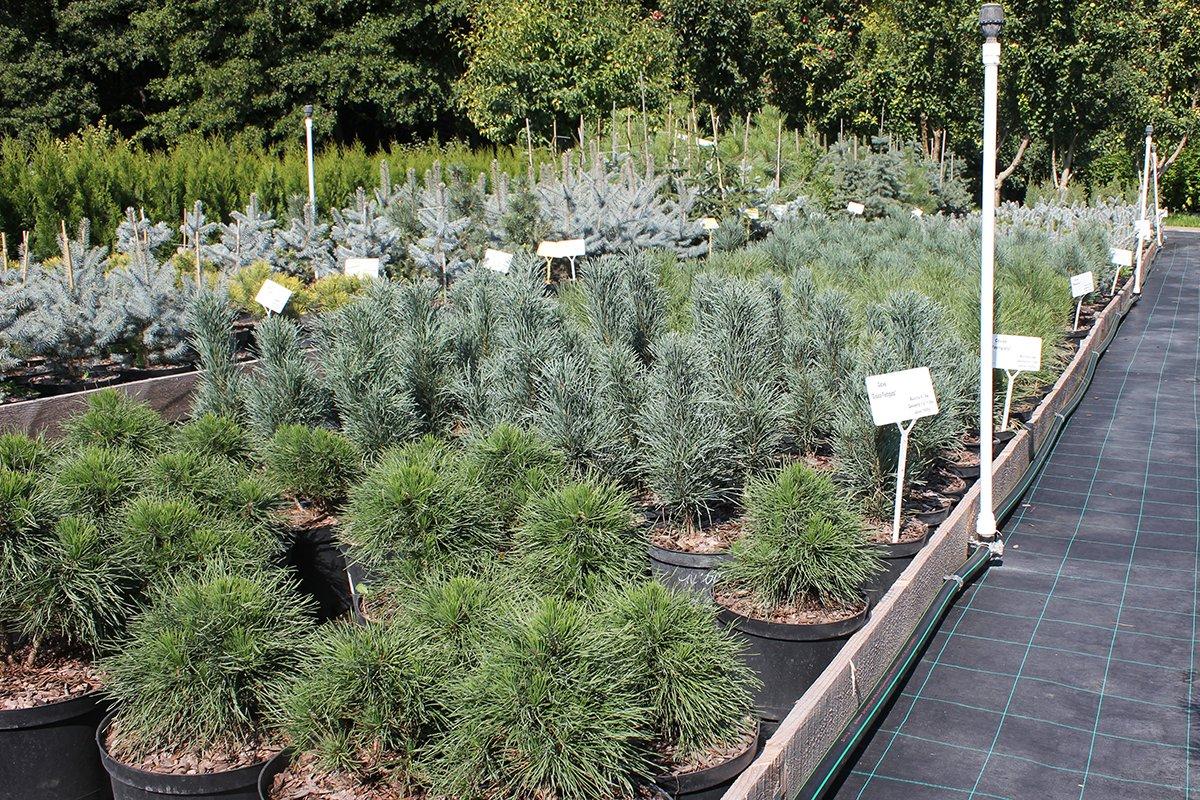 Голландия рядом. Саженцы из питомника «Никольское» создадут уникальную атмосферу в вашем саду, фото-3