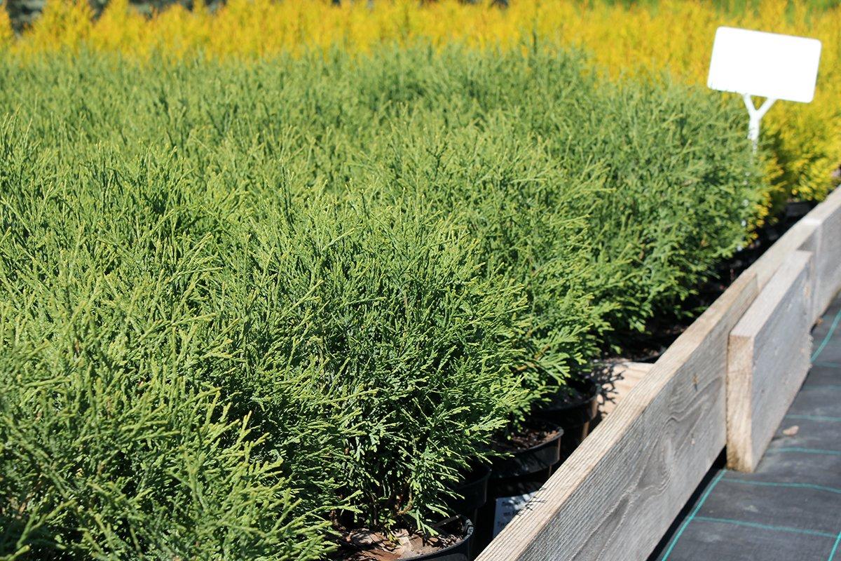 Голландия рядом. Саженцы из питомника «Никольское» создадут уникальную атмосферу в вашем саду, фото-1