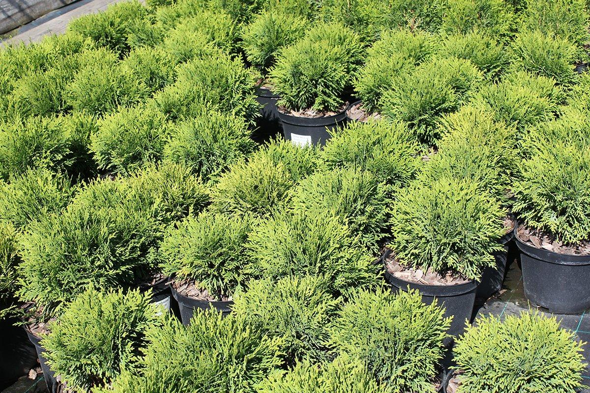 Голландия рядом. Саженцы из питомника «Никольское» создадут уникальную атмосферу в вашем саду, фото-6