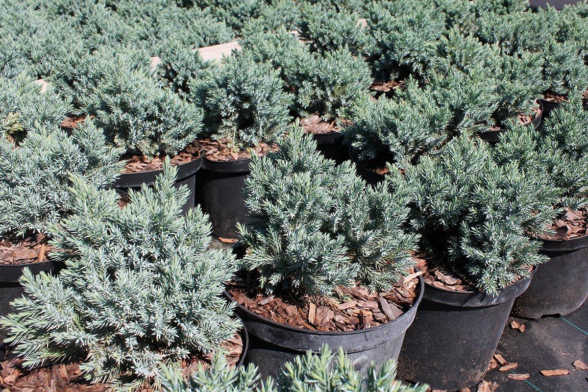 Голландия рядом. Саженцы из питомника «Никольское» создадут уникальную атмосферу в вашем саду, фото-5