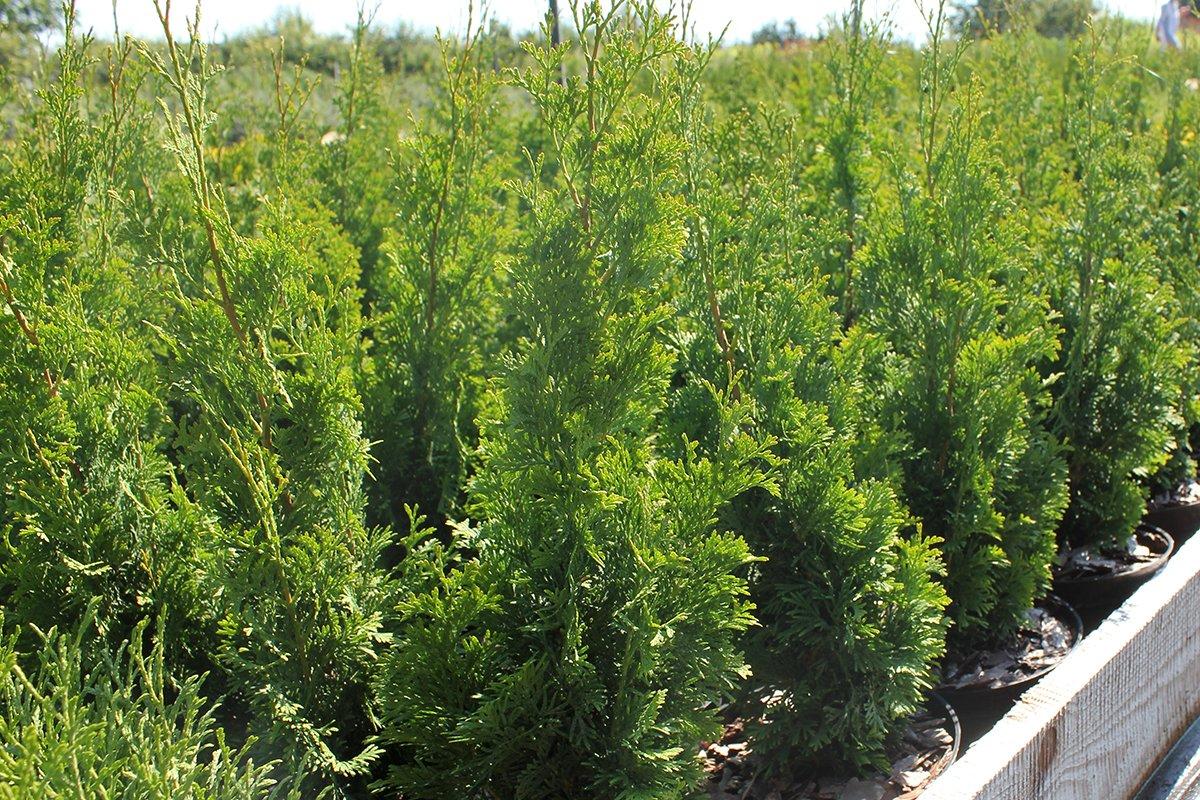 Голландия рядом. Саженцы из питомника «Никольское» создадут уникальную атмосферу в вашем саду, фото-7