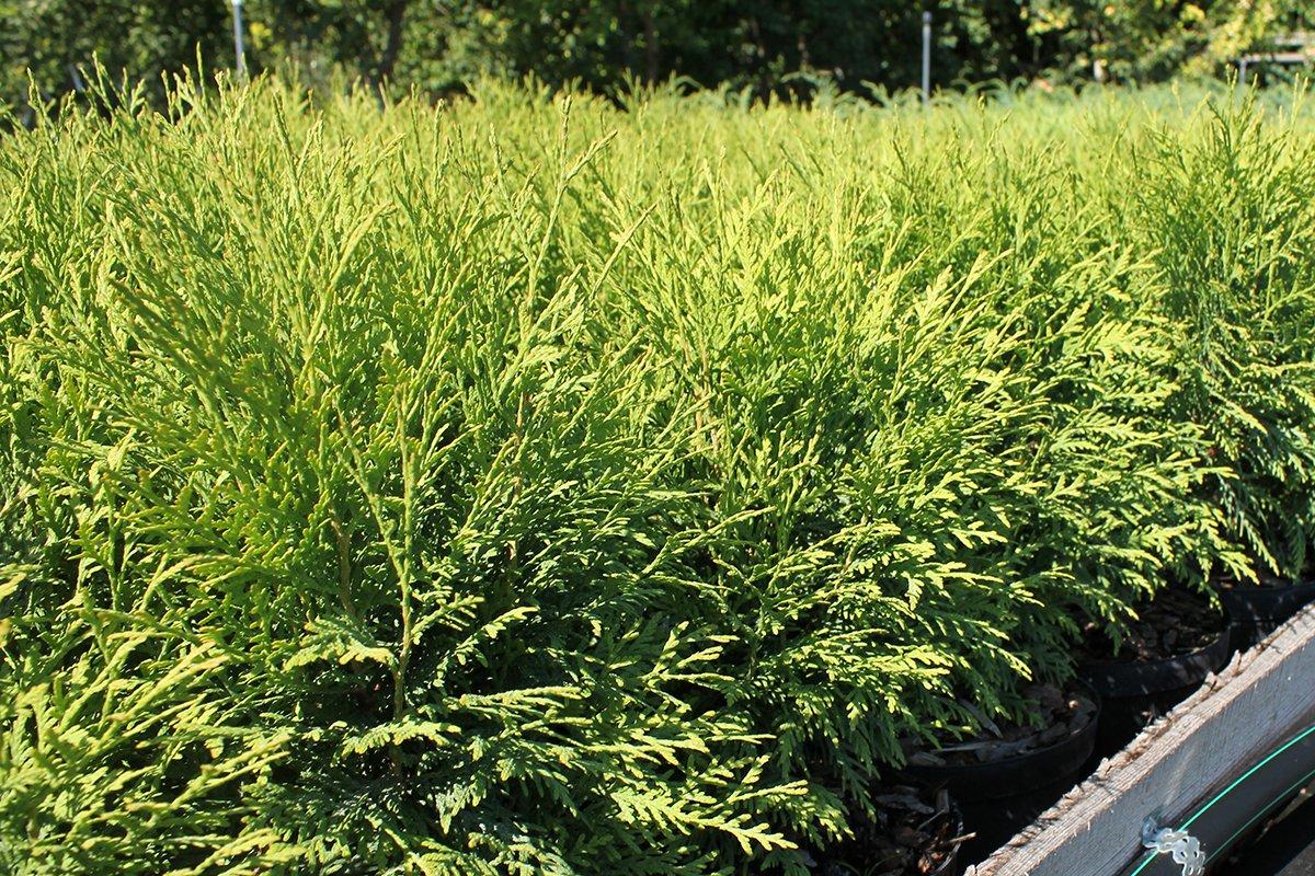 Голландия рядом. Саженцы из питомника «Никольское» создадут уникальную атмосферу в вашем саду, фото-2