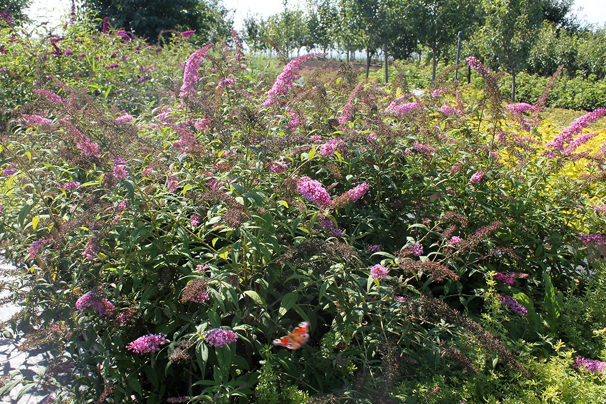Голландия рядом. Саженцы из питомника «Никольское» создадут уникальную атмосферу в вашем саду, фото-11
