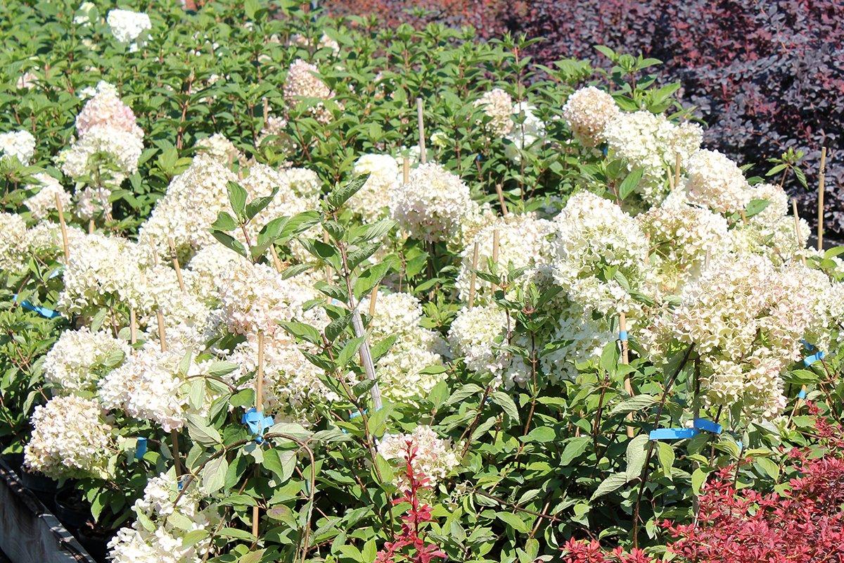 Голландия рядом. Саженцы из питомника «Никольское» создадут уникальную атмосферу в вашем саду, фото-12