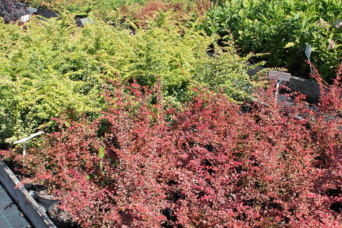 Голландия рядом. Саженцы из питомника «Никольское» создадут уникальную атмосферу в вашем саду, фото-9