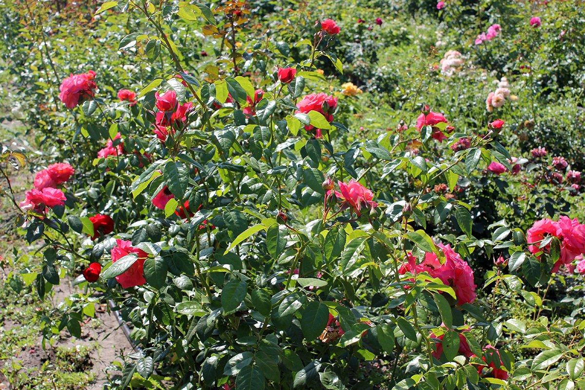 Голландия рядом. Саженцы из питомника «Никольское» создадут уникальную атмосферу в вашем саду, фото-16