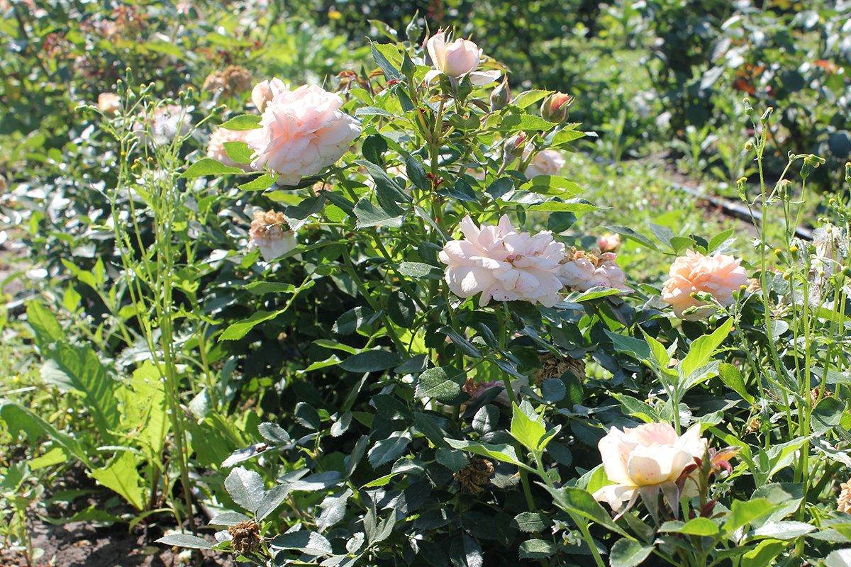 Голландия рядом. Саженцы из питомника «Никольское» создадут уникальную атмосферу в вашем саду, фото-17