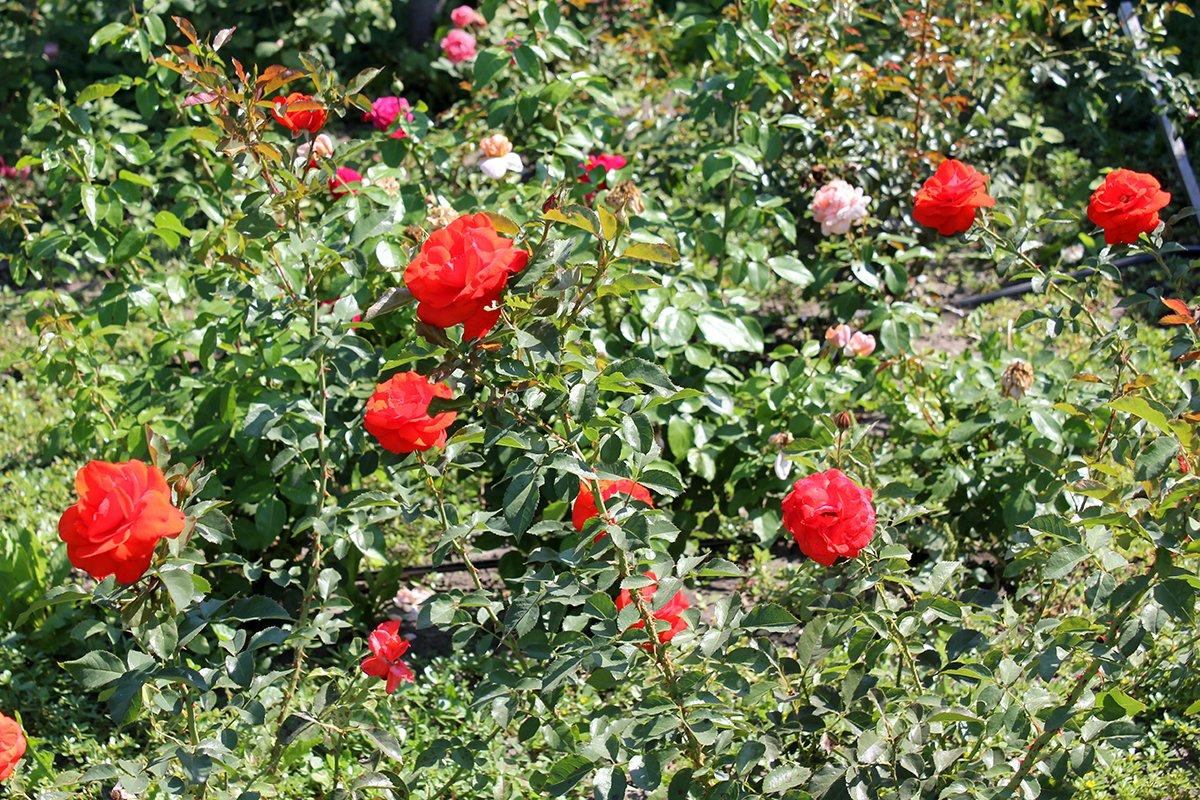 Голландия рядом. Саженцы из питомника «Никольское» создадут уникальную атмосферу в вашем саду, фото-20