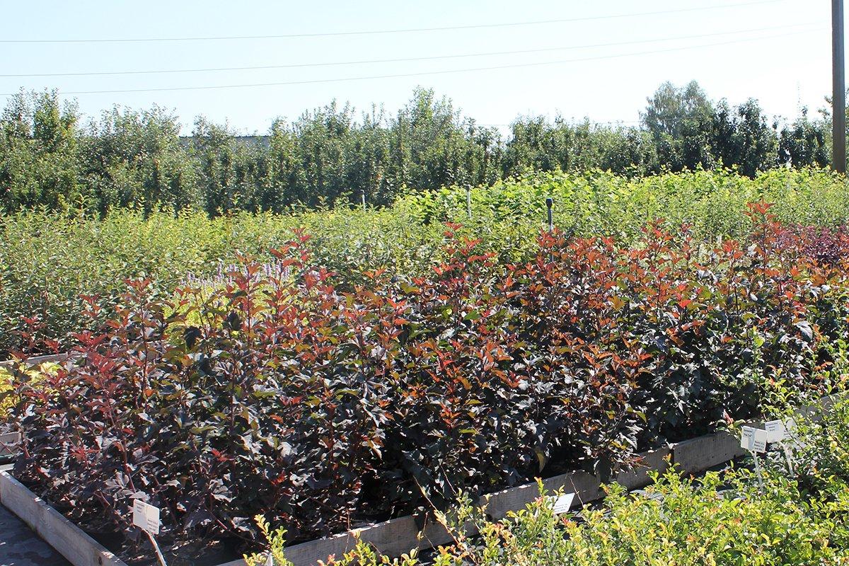 Голландия рядом. Саженцы из питомника «Никольское» создадут уникальную атмосферу в вашем саду, фото-14