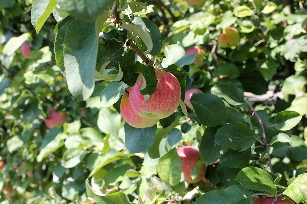 Голландия рядом. Саженцы из питомника «Никольское» создадут уникальную атмосферу в вашем саду, фото-27