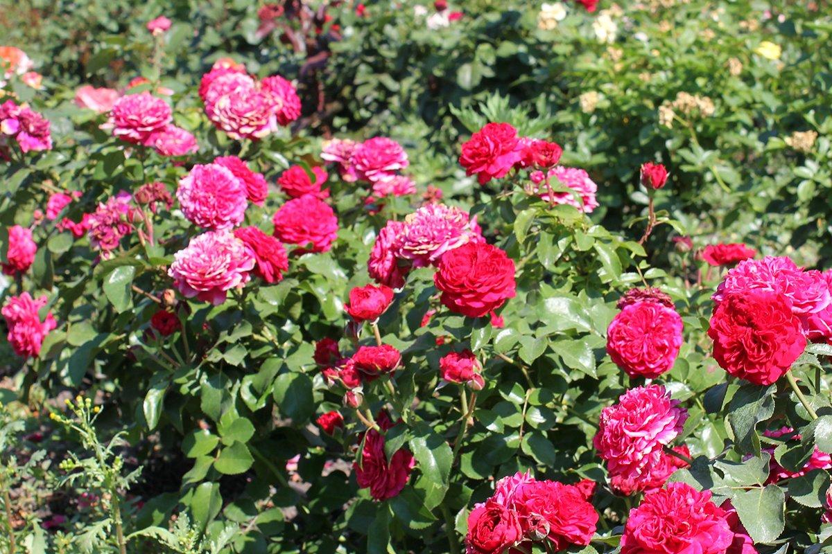 Голландия рядом. Саженцы из питомника «Никольское» создадут уникальную атмосферу в вашем саду, фото-19